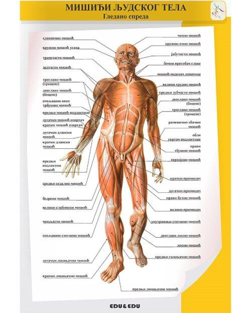 БП085 - Мускулатура  људског тела  (постер)