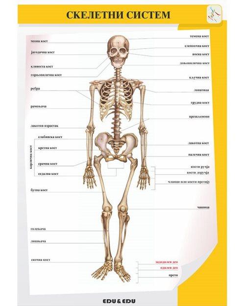 БП082 - Скелетни систем