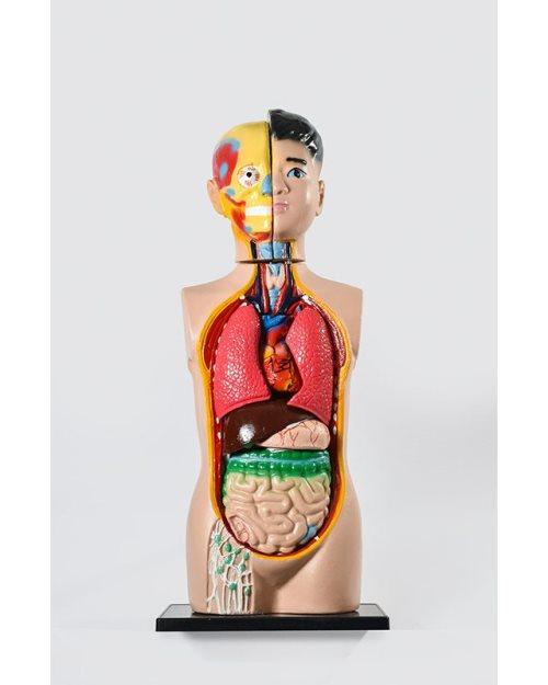БМ022 - Људско тело  – торзо  85 cm
