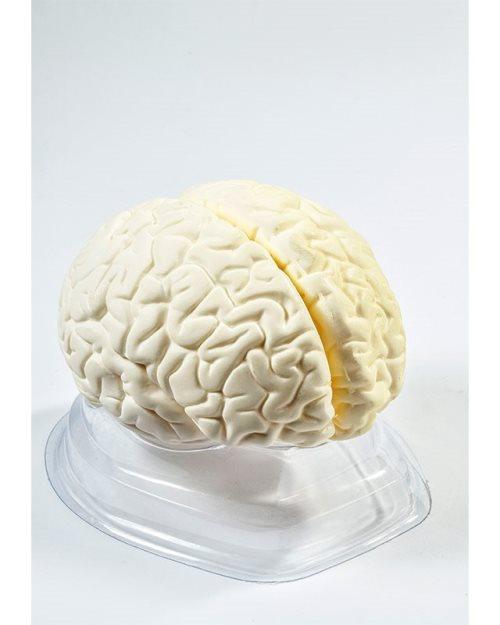 БМ008 - Велики мозак са  артеријама