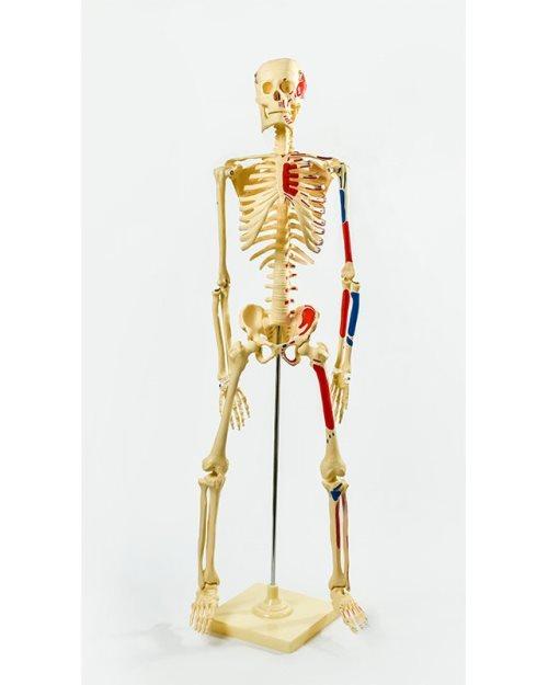 БМ004 - Модел скелета 45 cm са венама и артеријама