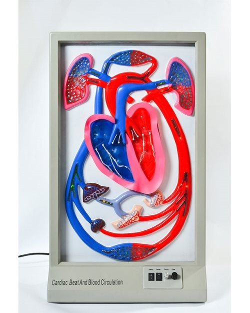 БМ031 - Модел за  демонстрацију  рада срца и  циркулације  крви