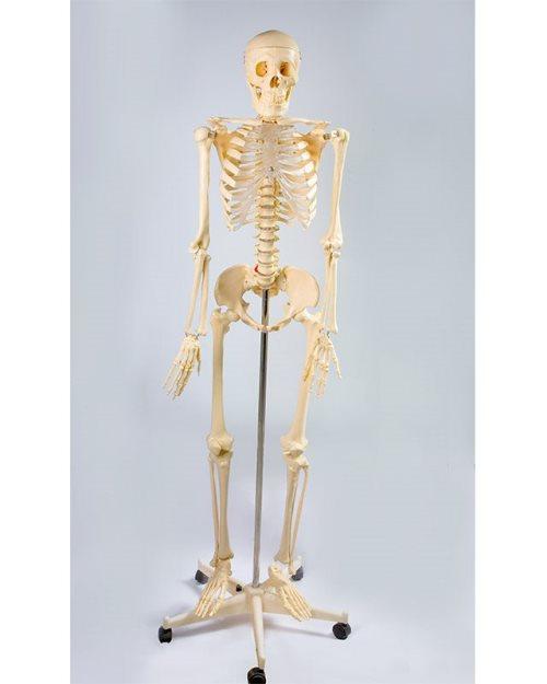 БМ001 -Стандардни  скелет 170 cm