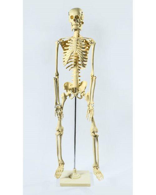 БМ002 - Скелет 85 см
