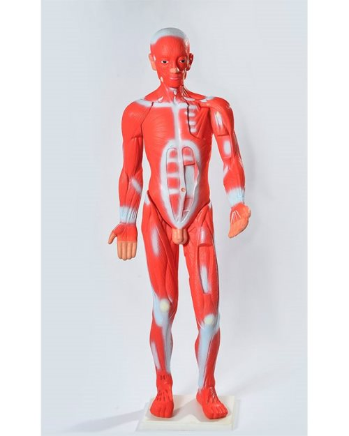 БМ024 - Мускулатура  људског тела 85 cm