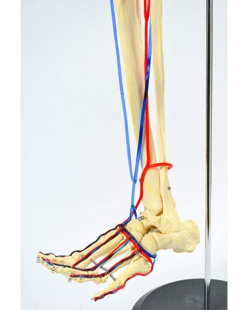 БМ010 - Нога са крвним  судовима