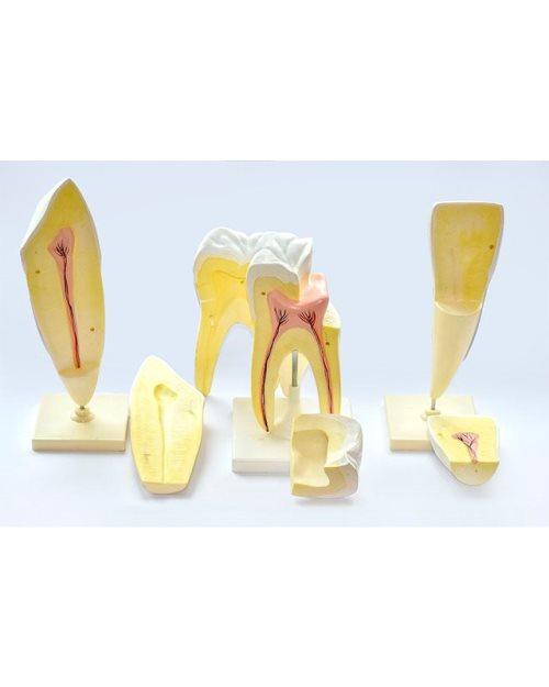 БМ018 -Модел зуба (кутњак,  секутић, очњак)